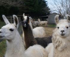 Llamas may save us from AIDS